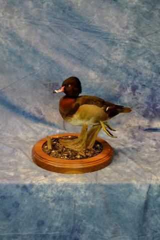 Wood Duck/Ring neck by Jim Temple