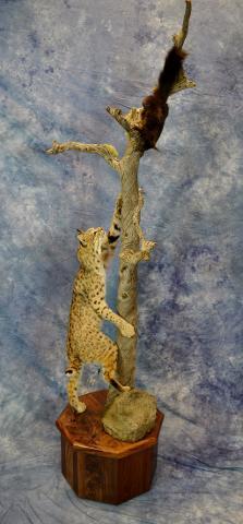 Bobcat by Erik Becker
