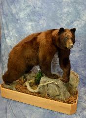 Brown Phase Black Bear by Erik Becker