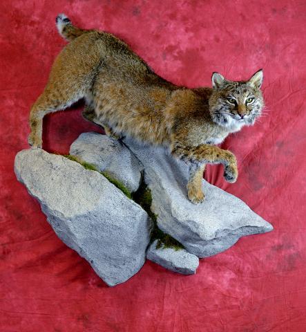 Bobcat by Garrett Sunram