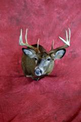 Whitetail by Chad Hedman