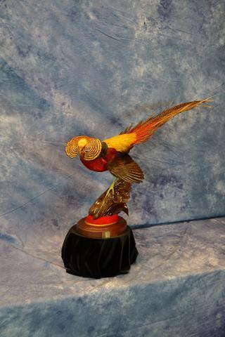 Golden pheasant by Scott Vohnoutka