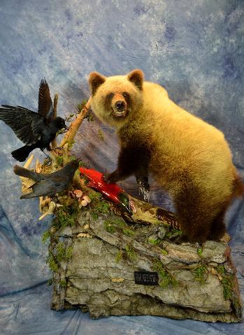 Grizzly Bear, salmon, and ravens by Scott Vohnoutka and JR Trushenski