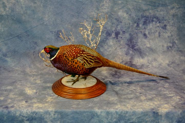 State Champion Upland Game Bird - Pheasant by Mike Nakielski