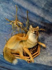 coyote by Bob Christianson