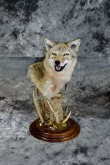Brian Gebeke coyote professional