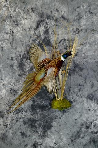 Mark Mayer commercial pheasant
