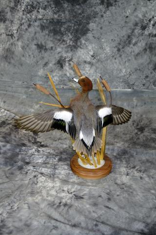 Aaron Reiling Eurasian widgeon masters