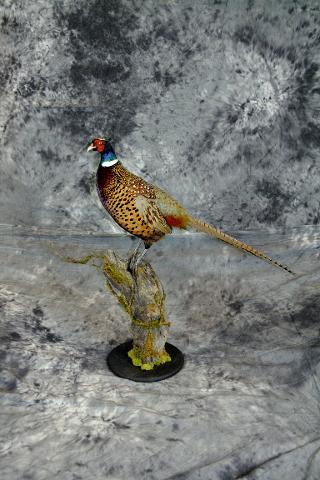 Thomas Hansen ringneck pheasant masters