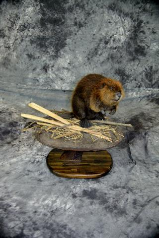 Marty Wiley, beaver masters