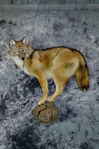 Kelsey Gese, Coyote Professional