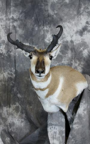 Nick Genereux, Antelope professional