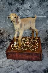 Ashley Friendshuh, Pygmy goat professional