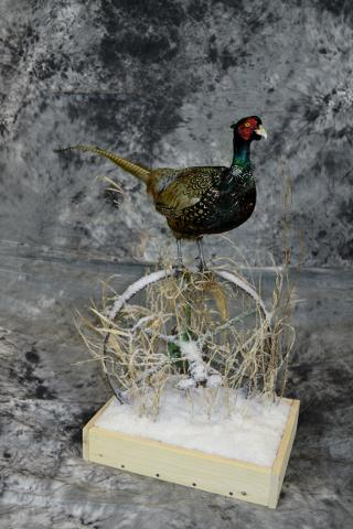 Andrew Morton, Chinese Ringneck Pheasant Jr. Novice