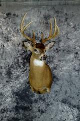 Andrew Morton, Whitetail Novice