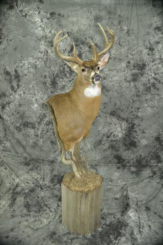 Whitetail Deer- Adam Zwick