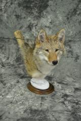 Coyote - Mark Mayer