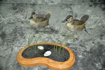 Ruddy Ducks - Riley Jordahl