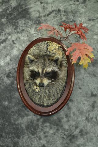 Raccoon - Riley Jordahl