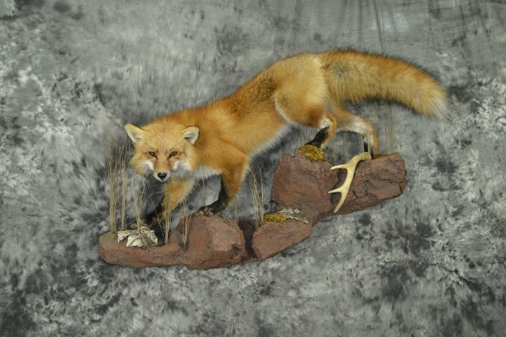 Red Fox - Curt Markgraf