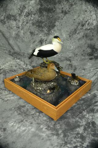 Atlantic Drake Eider and Hen Eider - Clifford Knutson