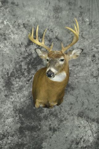 Whitetail Deer - John Duberowski