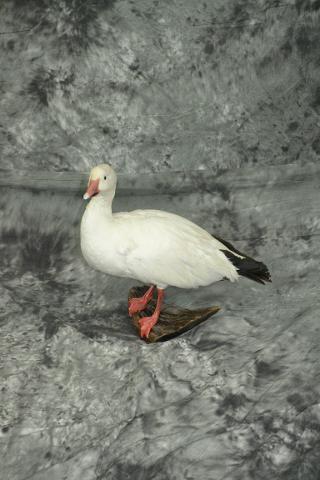 Snow Goose - John Duberowski