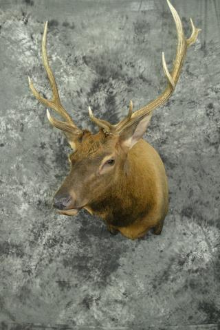 Elk - Mark Mayer