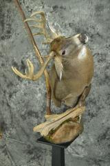 Whitetail Deer - Jesse Weber