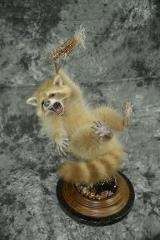 Raccoon - Scott Vohnoutka