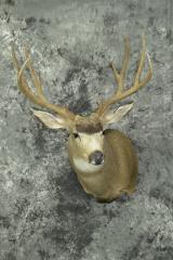 Mule Deer - Clifford Knutson