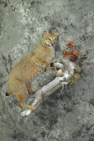 Bobcat - Clifford Knutson