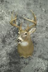 Whitetail Deer - Marty Wiley