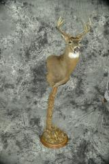Whitetail Deer - Larry O'Malley
