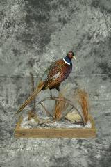 Ringneck Pheasant - Paul Martinetto