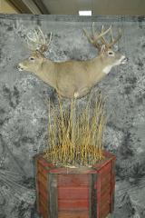 Whitetail Deer - Travis Sandberg