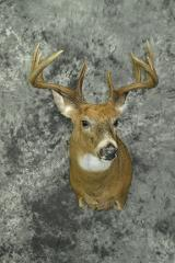 Whitetail Deer - Paul Martinetto