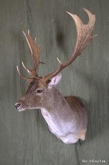 Fallow Deer - Nick Genereux