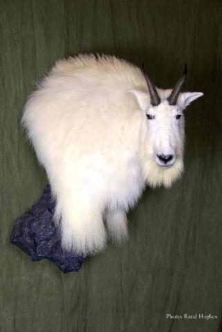 Mountain Goat - Nick Genereux