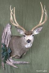 Mule Deer - Nick Genereux