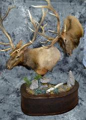 Elk - Thomas Hansen