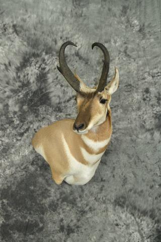 Pronghorn Antelope - Aaron Reiling