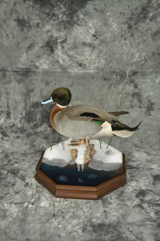 Mallard-Pintail hybrid - Aaron Reiling