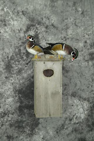 Wood Ducks - Aaron Reiling