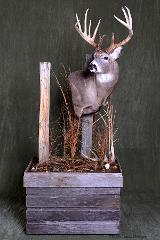 Whitetail Deer - Nick Genereux