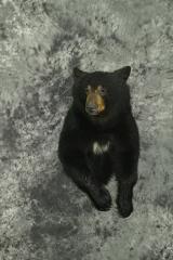 Black Bear - Daniel Bertilrud