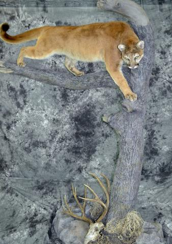 Mountain Lion - Garrett Sunram and Chad Hedman