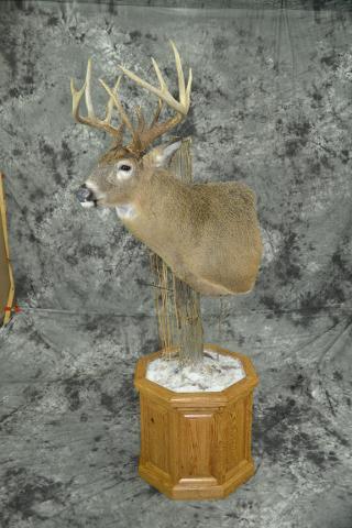 Whitetail Deer - Bruce Norton
