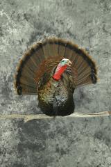 Turkey Breast Mount - Arts and Crafts - John Duberowski