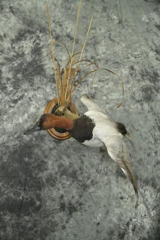 Canvasback Duck - Riley Jordahl